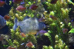 Red Piranha (Adventurer Dustin Holmes) Tags: 2018 wondersofwildlife redpiranha piranha animal animals chordata animalia aquarium