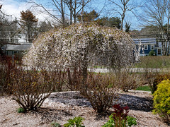 20180423-The Gardens (ChathamGardens) Tags: capecod chathamgardens snowfountainweepingcherrytree cherrytreegarden chathamma