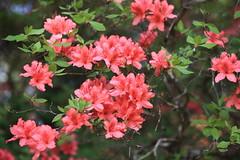 Azalea / Rhododendron / 躑躅(つつじ) (TANAKA Juuyoh (田中十洋)) Tags: 5d markii hi high res hires resolution 高精細 高画質 tochigi kanuma senjusan kouen park 栃木 鹿沼 とちぎ かぬま 千手山公園 せんじゅさん こうえん azalea rhododendron 躑躅 つつじ ツツジ
