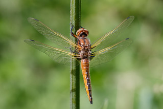 Scarce chaser imm male