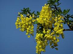Goldregen 2018 (dorisgoebel) Tags: baum tree goldregen gelb yellow blüten blossom