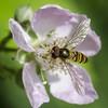Auf Nahrungssuche  //  Heading for lunch (Martin Bärtges) Tags: nikonfotografie nikon sunshine sun plants pflanzen blüte flowers macrophotography macro makrofotografie makro bee insekten nature insects