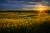 Waves of Yellow (Alan10eden) Tags: oilseed field brassica crop arable tillage rotation bloom yellow sunset colours farming agriculture poyntzpass northernireland ulster canon 80d 1022mm wideangle alanhopps farm farmer sunburst sunstar evening summer