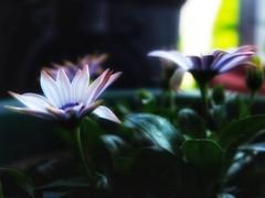Purple Highlights (Robert Cowlishaw (Mertonian)) Tags: backyardphotolab bypl kneeling simplicity deepseeksdeeply highlight purple flowers canonpowershotg1xmarkiii markiii g1x powershot canon robertcowlishaw mertonian