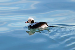 Long-Tailed Duck (marylee.agnew) Tags: longtailed duck great lakes male blue bird water calm nature outdoor