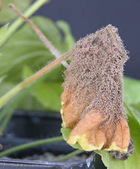 Botrytis infection on geranium (msuanrc) Tags: botrytis botrytiscinerea geranium