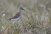 Dunlin on the moors (Tim Melling) Tags: calidris alpina schinzii dunlin breeding habitat summer plumage peak district dovestone timmelling