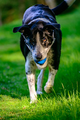 telephoto Zac in the garden on 16th May, 2018 - maybe this lens is OK after all! (grahamrobb888) Tags: zac dog pet animal ball birnamwood birnam garden grass green d800 nikond800 nikon afnikkor80200mm128ed