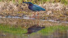 Green-Heron-Brant-Rock-5-16-18 (McDonaldMorgans) Tags: birding redshoulderedhawk greenheron greateryellowlegs brantrock kingston