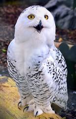 Snowy Owl.. (mickb6265) Tags: hamertonzoopark hamerton cambridgeshire england snowyowl