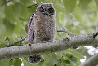 Great Horned Owl / Grand-duc d'Amérique