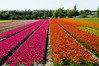 tulip fields (my lala) Tags: spring holland netherlands flowers colorful nature tulip fields