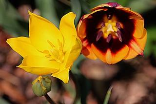 Toronto Ontario ~ Canada ~ Edwards Gardens ~ Botanical Garden  -  Rembrandt Tulip - Yellow Tulip