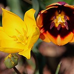 Toronto Ontario ~ Canada ~ Edwards Gardens ~ Botanical Garden  -  Rembrandt Tulip - Yellow Tulip thumbnail