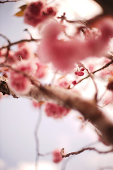 Wild Sakura (louie imaging) Tags: sakura cherry blossom tree flower spring expression mood blossoms world pictorial depth bokeh bokehlicious painted lens culture camera life icon iconic abstract surreal surrealism impression impressionism san francisco japan light afternoon clouds explore create energy bokehculture