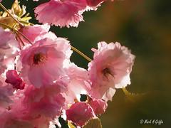 Cherry Blossom (mark.griffin52) Tags: olympusem5 england buckinghamshire cheddington garden ornamental tree littlepinkperfection blossom cherry