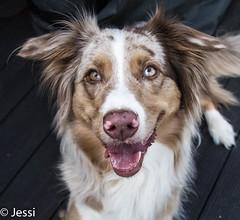 Gut so? (Felicis_Flower) Tags: hund dog australianshepherd redmerle pet haustier animal tier