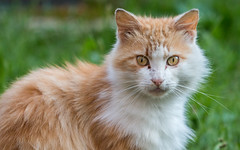 Stray Cat (Ronan McCormick) Tags: ilobsterit canon ireland summer animal cat cats catsofflickr ginger stray white