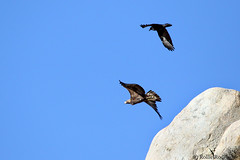 Raven Chasing A Golden Eagle, Eastern Sierra, California (rollie rodriguez) Tags: ravenchasingagoldeneagle easternsierra california
