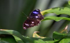 Spotted Black Crow Butterfly (Merrillie) Tags: spottedblackcrowbutterfly colours butterfly insect australia brown colors euploeacrameri fauna closeup bokeh macro