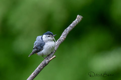Poof! (dbifulco) Tags: nature wbnu bird branch newjersey puffy whitebreastednuthatch wildlife