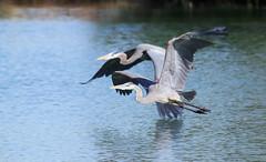 Great Blue Herons (Ardea herodias); Tucson, AZ, Christopher Columbus Park [Lou Feltz] (deserttoad) Tags: nature park water lake bird wildbird wader heron reflection flight refuge arizona