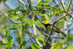 Spring Birds! (hmthelords) Tags: blackthroatedgreenwarbler