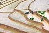 _J5K0883.0617.Lao Chải.Mù Cang Chải.Yên Bái (hoanglongphoto) Tags: asia asian vietnam northvietnam northwestvietnam landscape scenery vietnamlandscape vietnamscenery terraces terracedfields transplantingseason sowingseeds hillside people landscapewithpeople canon canoneos1dsmarkiii hdr tâybắc yênbái mùcangchải phongcảnh ruộngbậcthang ruộngbậcthangmùcangchải mùacấy đổnước người phongcảnhcóngười sườnđồi mùcangchảimùacấy canonef70200mmf28lisiiusm ricceterracedinvietnam terracedfieldsinvietnam thehmong ngườihmông abstrat curve trừutượng đườngcong laochải