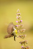 Honey Hunter (MarzookCasim) Tags: sunbird bird batticaloa srilanka wildlife outdoor honey nature canon flight hunter flower