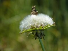I keep my hat on (joeke pieters) Tags: 1390525 panasonicdmcfz150 paardenbloem dandelion bloem flower bokeh