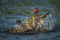 Moorhen Melee (Aditya.Sridhar) Tags: moorhen bird bif birds action motion wildlife nature color colours colourful colorful fight nikon d850 300mm pf f4e london uk united kingdom saint jamess park st