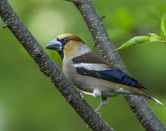 Hawfinch , Coccothraustes coccothraustes (Bojan Žavcer) Tags: hawfinch coccothraustescoccothraustes animal wildlife