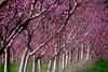 _DSC5317  Lovely pink (christinachui79) Tags: pastelcolour mothernature nikonphotography springseason springtime nikond750 naturephotography peachblossom blossom pink orchard trees nature beautiful nikon d750 landscape spring pattern