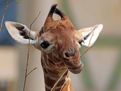 reticulated giraffe artis BB2A0331 (j.a.kok) Tags: giraffe giraffacamelopardalisreticulata netgiraffe reticulatedgiraffe artis animal africa afrika babygiraffe mammal zoogdier dier herbivore
