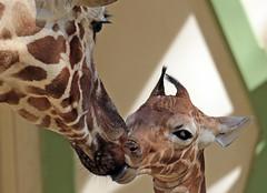 reticulated giraffe artis BB2A0413 (j.a.kok) Tags: giraffe giraffacamelopardalisreticulata netgiraffe reticulatedgiraffe artis animal africa afrika babygiraffe mammal zoogdier dier herbivore moederenkind motherandchild