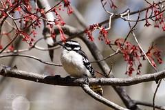 Female Downy Woodpecker (KevinBJensen) Tags: wild bird animal songbird woodpecker maple tree nature bokeh wildlife black white downy sony a77ii