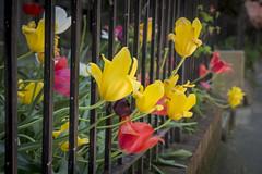 Great escape (Tim Brown's Pictures) Tags: washingtondc spring flowers blossoms trees colorful dupontcircle urbangardens washington dc unitedstates