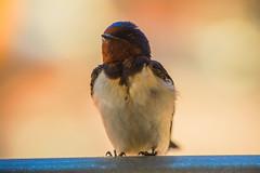 First Swallow (moaan) Tags: awaji hyogo japan jp bird swallow season springtime readyfornestle dof depthoffield bokeh bokehphotography canon canonphotography canoneos5dsr ef70200mmf28lisiiusm utata 2018