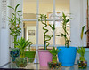 My Bamboo plants (henulyphoto) Tags: plant bamboo blue pink marble glass water natur door picture table nikon d5200 18140mmvr stone container vase pot
