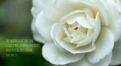 121/365 - Daily Haiku: Charm (James Milstid) Tags: dailyhaiku haiku haiga haikuaday poetry jemhaiku rose