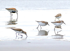 Dunlin and Sanderling Shorebirds (dmeeds (on and off)) Tags: dunlin sanderling shorebirds oregoncoast bird sand beach sea
