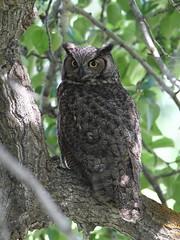 Great Horned Owl (jlcummins - Washington State) Tags: owl greathornedowl snowmountainranch cowichecanyonconservancy cowiche yakimacounty washingtonstate bird nature fauna canon tamronsp150600mmf563divcusd