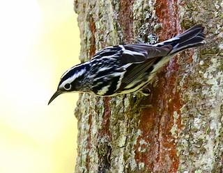 Black-&-White-Warbler-40w
