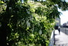 Robinia as street tree@Düsseldorf, Germany 2 (Amselchen) Tags: plants tree blossom flowers season earlysummer bokeh blur dof depthoffield sony a7rii alpha7rm2 sonyilce7rm2 zeiss carlzeiss planar sonnar fe55mmf18za sonnar5518za sonnart1855