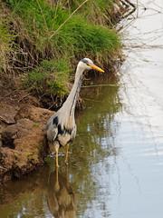 2018.05.10 Seaton (33) (Kotatsu Neko 808) Tags: seaton devon birds heron greyheron