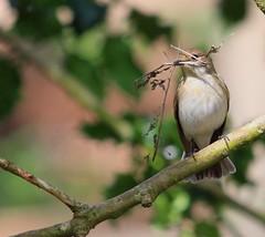 PIED FLYCATCHER ♀️ (Bradders62) Tags: piedflycatcher sigma150500mmf563dgoshsmlens canoneos7d birds wildbirds britishbirds nature wildlife yarnerwood dartmoor devon southwest