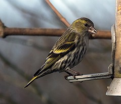 Siskin. (Hem6ix) Tags: bird feathers feeder birdfood seed tree sky soil grass birdfeeders wildlife