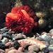 Sea annemone