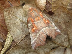 Herald Moth - JMNR