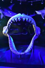 Shark Alley (Adventurer Dustin Holmes) Tags: 2018 wondersofwildlife teeth jaws greatwhite bones animal sharkalley shark animals animalia springfieldmissouri springfieldmo